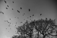 Crow Flies South